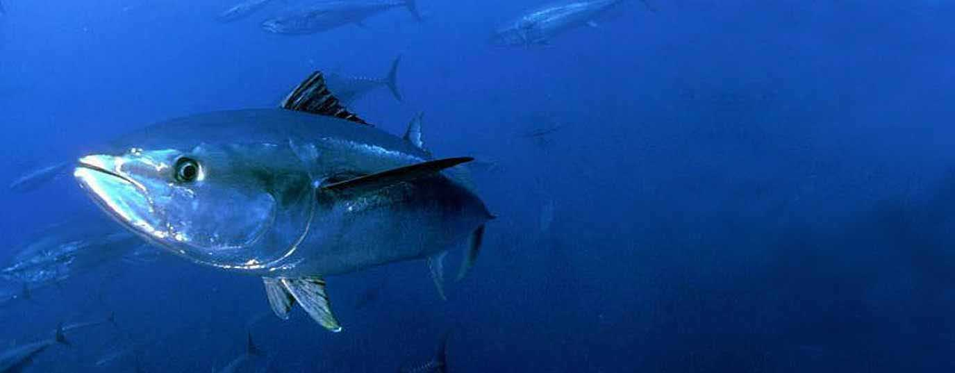 <h2>Red tuna</h2>