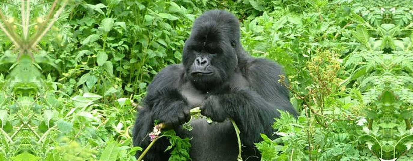 <p>Mountain gorilla</p>