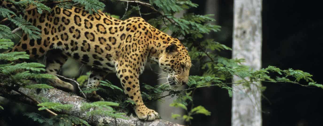 <h2>Jaguar</h2>