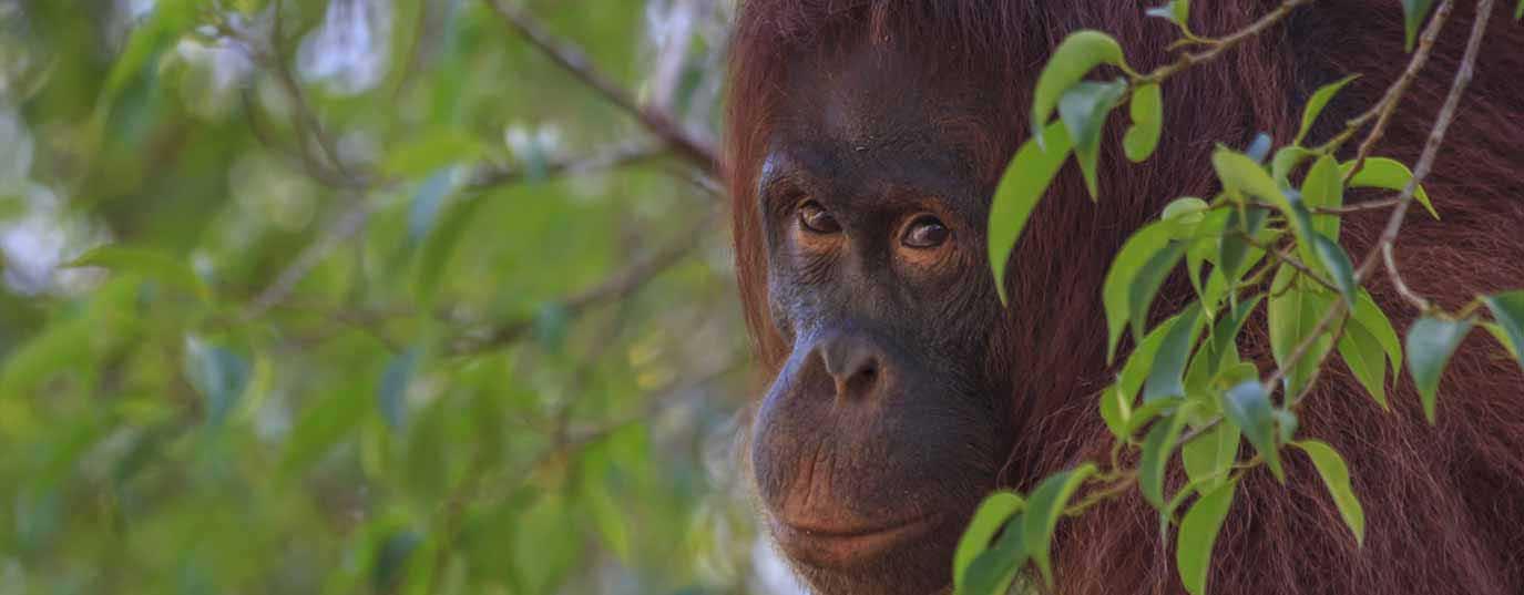<h2>Sumatran orangutan</h2>