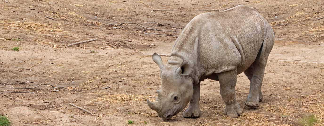 <h2>Javan rhinoceros</h2>