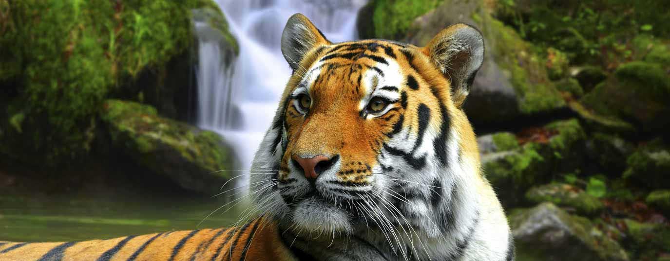 <h2>Tiger</h2>
