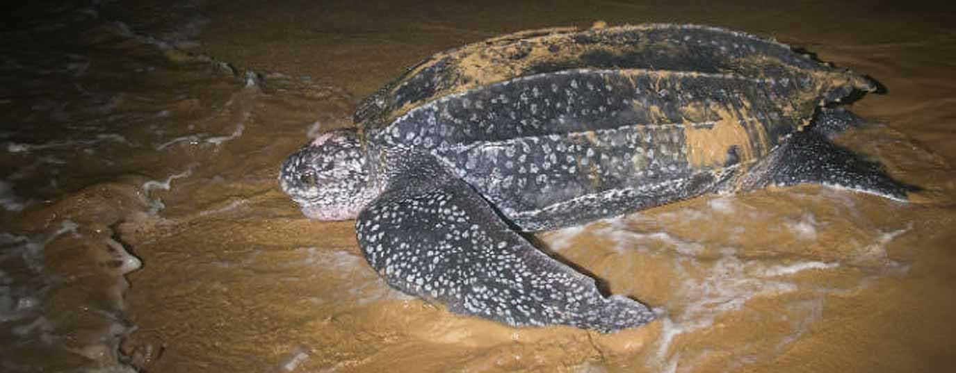 <h2>Baulan turtle</h2>