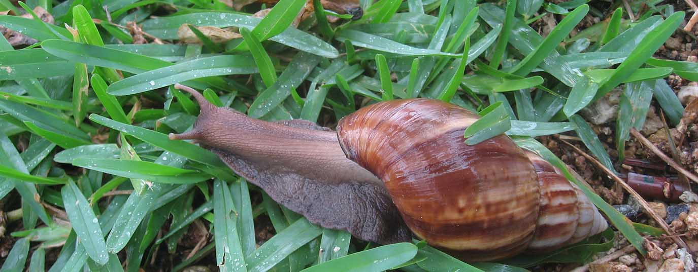 <p>Giant African land snail</p>