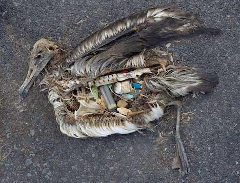Aves muertas por comer plástico - Garbage Patch