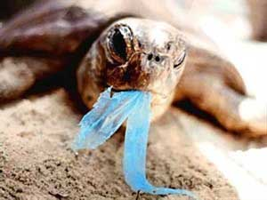 Sea turtles die from consuming plastic remains