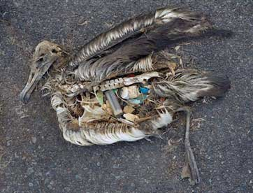 Birds dead from ingestion of plastic - Garbage Patch