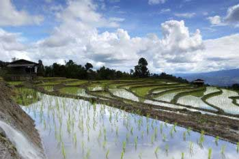 3,000 litres of water are necessary for 1 kilogramme of rice