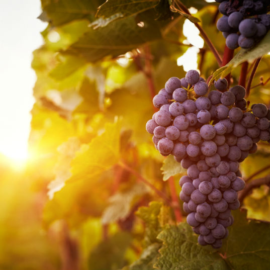 Impacts of climate change on wine