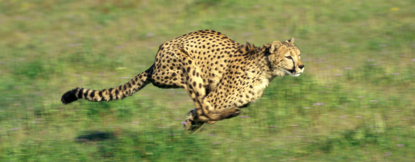 <h2>Cheetah</h2>